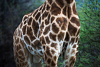 Giraffe skin patterns, Marataba Private Game Reserve, Limpopo, South Africa