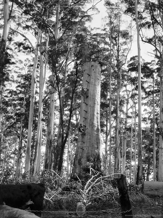 Tree Falling, Karri Forest, Western Australia, 1930
