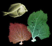 X-ray image of fish and sea fans (color on black) by Jim Wehtje, specialist in x-ray art and design images.