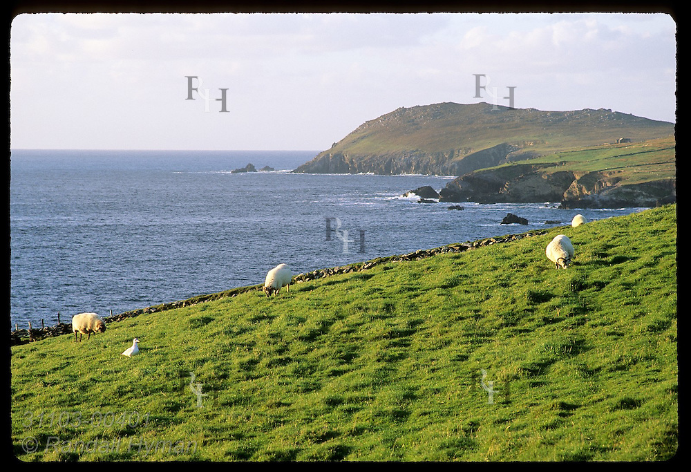 Sheep graze in lush pasture at tip of Dingle Peninsula with Dunmore Head in distance; Ireland.