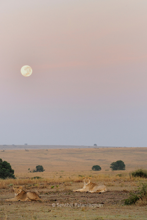 Lions at sunrise with moon in the background, Masai Mara, Kenya