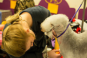 New York, NY - 16 February 2016.A Bedlington terrior gets a last minute trim in the benching area of the 140th Westminster Kennel Club Dog show in Madison Square Garden.