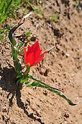 Israel, Tulipa agenensis Sharon Tulip