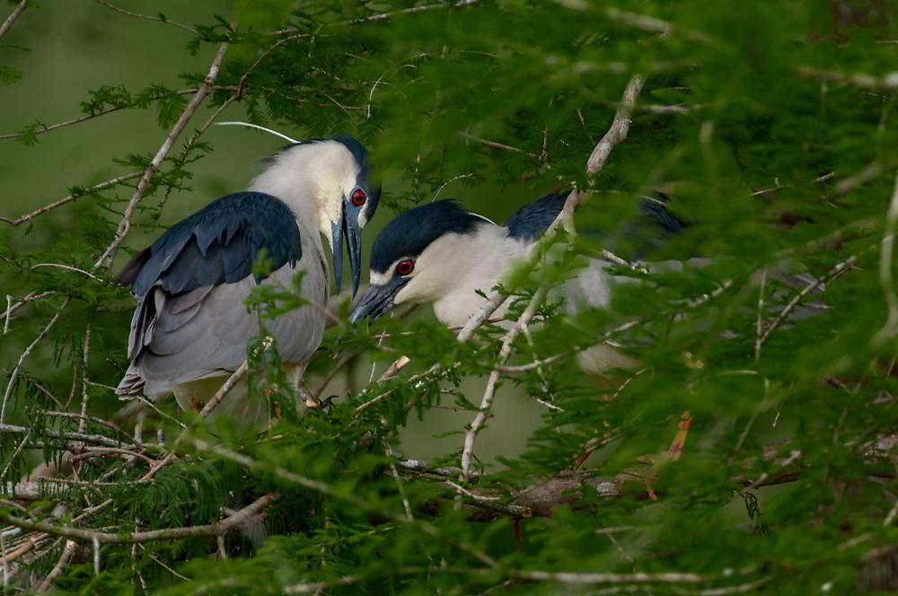 Black Crowned Night Herons on Nest