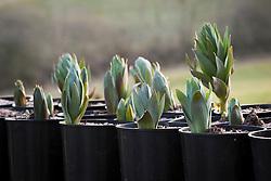 Shoots of Fritillaria persica 'Adiyaman' pushing through the soil in pots at Glebe Cottage
