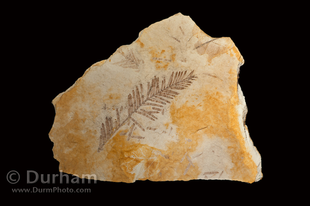 33 million year old dawn redwood needle leaves (Metasequoia sp) fossil. John Day Fossil Beds, Oregon.
