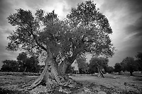Albero di olivo in bianco e nero con cielo nuvoloso - Olive tree in black and white on a cloudy sky