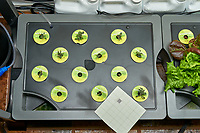 AeroGarden Farm 01 Left Tray at 24 days. Position 1-6 Red Heirloom Tomatoes. Position 7-12 Golden Harvest Tomatoes. Image taken with a Leica TL-2 camera and 35 mm f/1.4 lens (ISO 800, 35 mm, f/11, 1/50 sec).