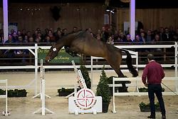 052 - O Neill van t Eigenlo <br /> Hengsten keuring BWP - Koningshooikt 2017<br /> © Dirk Caremans<br /> 27/12/2016