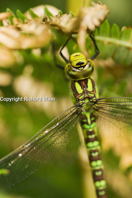 Close-up macro of the head of a Southern Hawker dragonfly. The detail of the eyes are clearly visible, as they are the point of sharp focus.