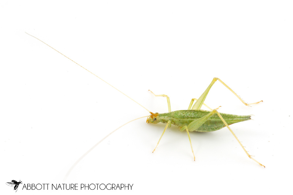 Western Tree Cricket (Oecanthus californicus) - male<br /> TEXAS: Travis Co.<br /> Brackenridge Field Laboratory; Austin<br /> 25-Feb-2013<br /> J.C. Abbott &amp; K.K. Abbott