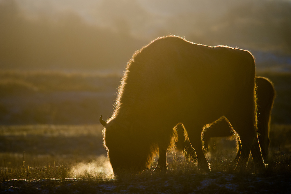 European bison (Bison bonasus) grazing on a cold morning breath showing