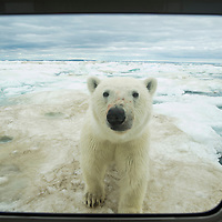 Canada, Nunavut Territory, Young Polar Bear (Ursus maritimus) peers through window of expedition boat on ice pack near Arctic Circle along Hudson Bay