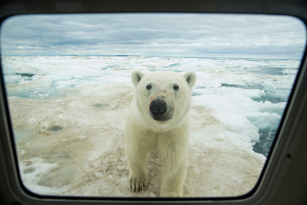 Canada, Nunavut Territory, Young Polar Bear (Ursus maritimus) peers through window of expedition boat on ice pack near Arctic Circle along Hudson Bay