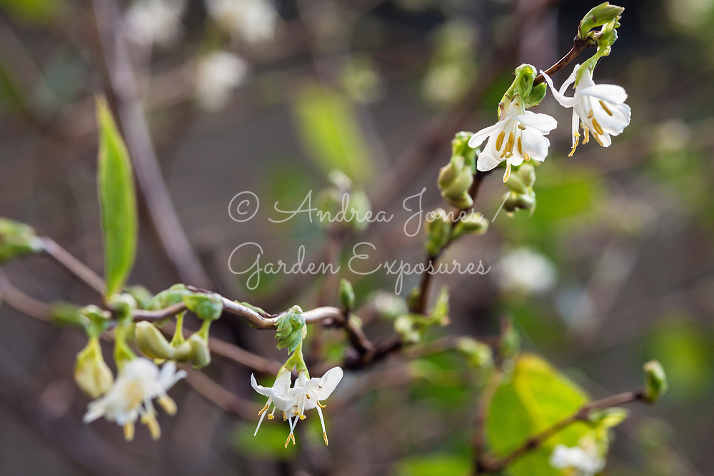 Lonicera fragrantissima (winter-flowering honeysuckle)