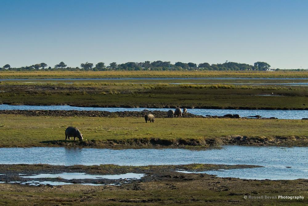 Grazing hippos in Chobe National Park, Botswana