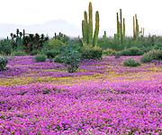 6104-1021CR ~ Copyright: George H.H. Huey ~ Sand Verbena [Abronia gracillis] tree yucca [Yucca valida] and cardon cactus [pachycereus pringlei]. Vizcaino Biosphere Reserve.  Sonoran Desert. Baja California, Mexico.