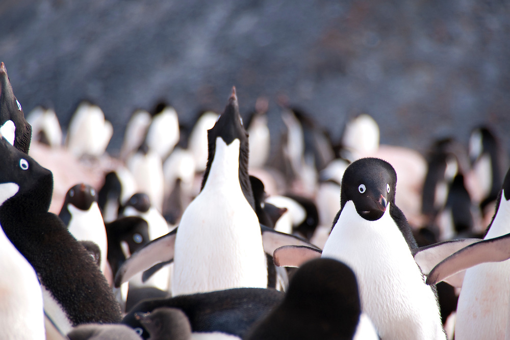A colony of Adelie penguins playing around.  This Adelie penguin colony was photographed in Antarctica.