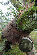 detail of old tree with support in the Kenrokuen garden at Kanazawa Japan