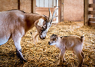 Mother goat admires her newborn baby goat standing for the first time inside a barn with soft light at Bauman Farms.