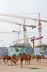 Construction site to rear contrasts with camels in foreground in Doha Qatar