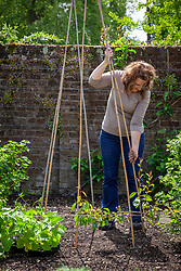 Making a cane teepee or wigwam ready for training runner beans - Phaseolus coccineus