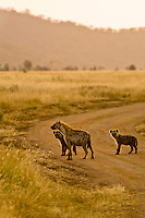 Spotted hyenas, Serengeti National Park, Tanzania