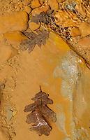 Scrub Oak leaves in creek bed; Willis Creek, Grand Staircase - Escalante NM, Utah