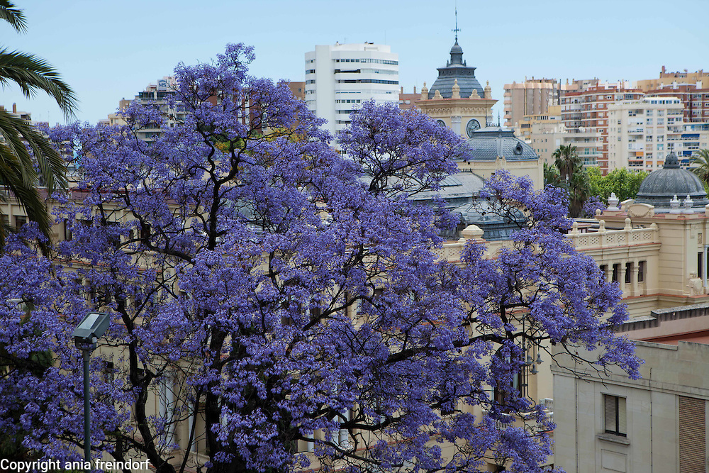 "May in Malaga, Spain, Tourism, Jacaranda mimosifolia is a sub-tropical tree native to south-central South America that has been widely planted elsewhere because of its beautiful and long-lasting blue flowers. It is also known as jacaranda, blue jacaranda, black poui, or as the fern tree. Older sources give it the systematic name Jacaranda acutifolia, but it is nowadays more usually classified as Jacaranda mimosifolia. In scientific usage, the name ""Jacaranda"" refers to the genus Jacaranda, which has many other members, but in horticultural and everyday usage, it nearly always means the blue jacaranda."