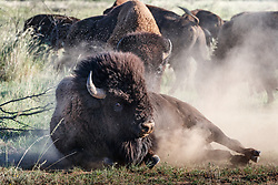 Bison bull dust bathing on prairie, Texas State Bison Herd, Caprock Canyons State Park, Quitaque, Texas USA.