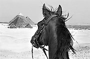 Horse's head in the foreground, as seen by the rider.  Across the desert, all three Giza pyramids are seen.  Beyond, in the valley, the city of Cairo.  Faintly, further in the distance, the Moqattam Hills.  The horse's head and neck seen in the foreground, mane blowing in the wind, ears pricked toward the pyramids, looking eager and interested.