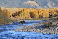 Bull Moose Crossing RIver