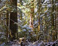 Forest landscape on Mount Rainier sunlight through the canopy on fir and cedar trees