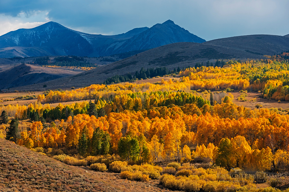 Aspen trees in fall near Conway Summit, Mono County, Eastern Sierra, California
