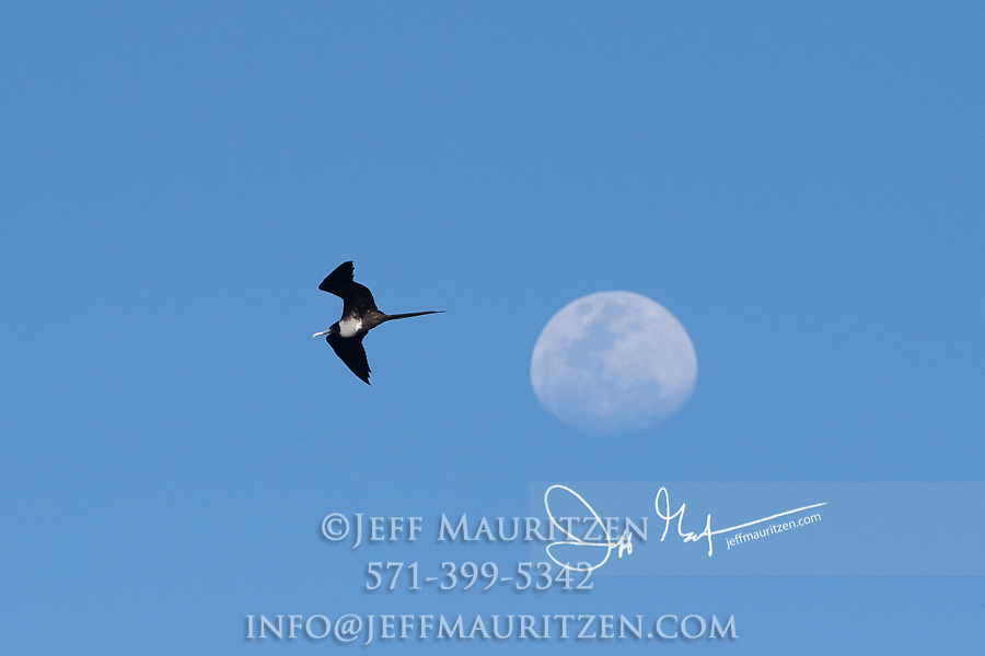 A Magnificent frigatebird flies by the moon.