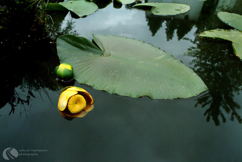 Water lilies on a woodland lake.