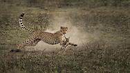 A young cheetah learns to hunt in Ndutu, Tanzania