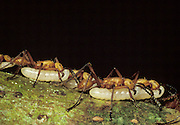 Army Ants; Eciton hamitum; Ecuador, Amazon Basin, Taisha;