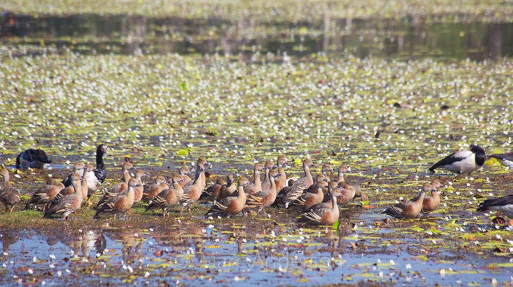 Mixed flock of birds, including Plumed Whistling Duck, Dendrocygna eytoni, and Magpie Geese, Anseranas semipalmata, Anbangbang Billabong, Kakadu National Park, Northern Territory