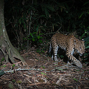 Indochinese leopard (Panthera pardus delacouri), also known as South-Chinese leopard. Thailand.