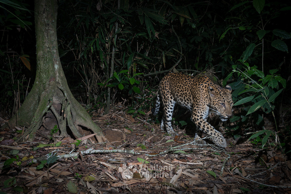 Indochinese leopard (Panthera pardus delacouri), also known as South-Chinese leopard. Kaeng Krachan National Park, Thailand.