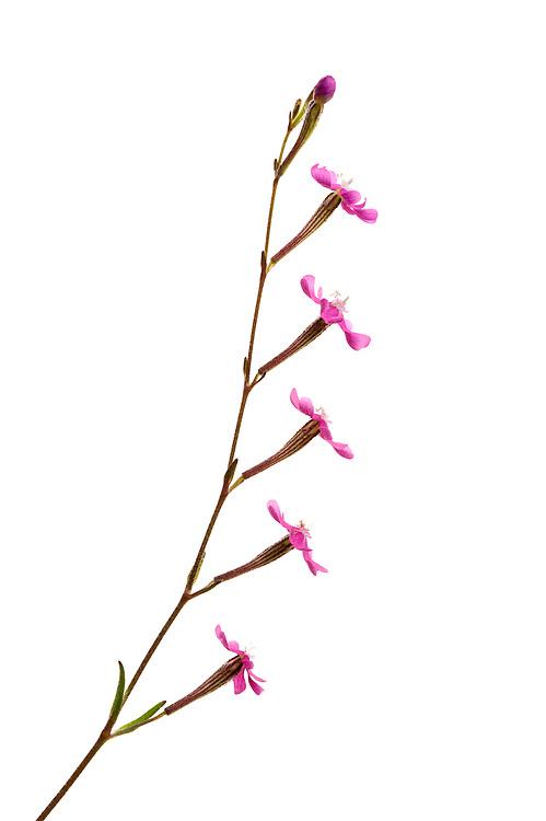 Silene scabriflora, Spain