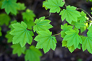Vine Maple (Acer circinatum) new spring leaves in Campbell Valley Park - Langley, BC, Canada .