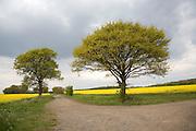 Oak tree in spring flower with yellow flowers of oil seed rape growing in field, Suffolk, England