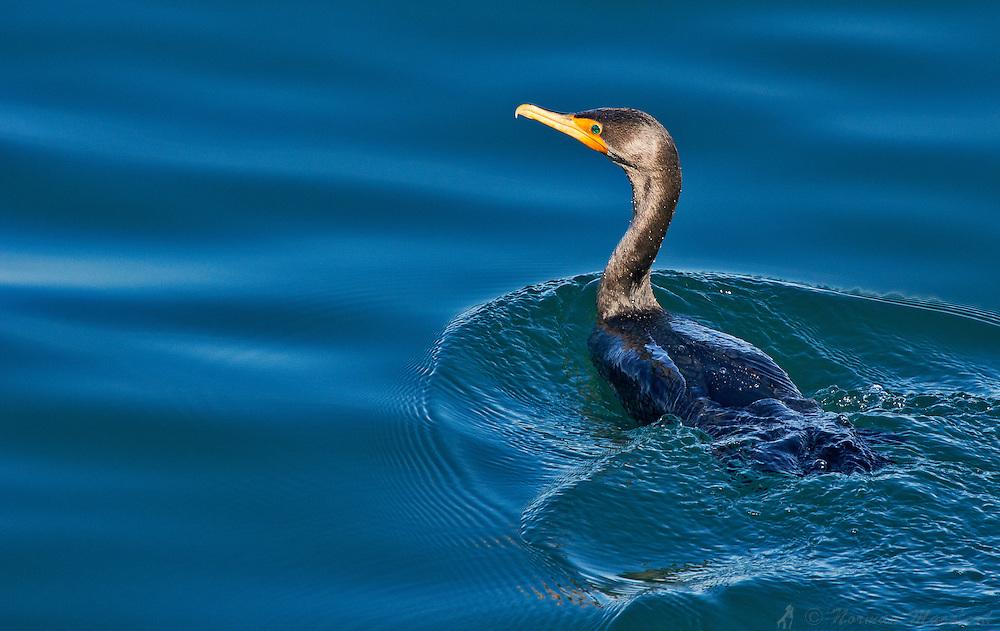 Cormorant swimming near Fort Worden, Port Townsend, Washington.