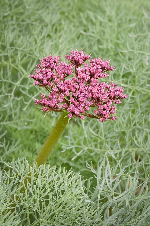 Columbia Desert Parsley (Lomatium columbianum), Rowena Crest, Columbia River Gorge National Scenic Area Oregon