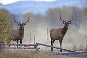 Two young bull elk stand near a No Hunting sign and fence in early morning mist.