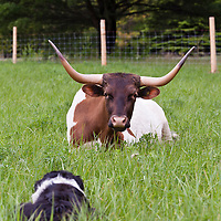 Texas long-horn cattle at YU Ranch in Ontario