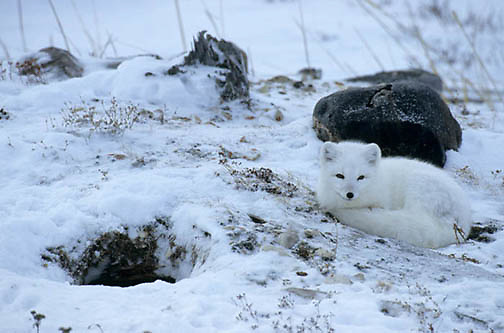Arctic Fox (Alopex fulva) At den. Churchill, Manitoba. Canada.
