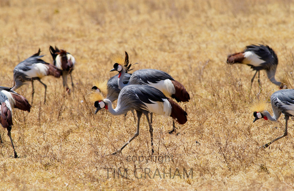 Grey Crowned- Crane,  Ngorongoro, Tanzania, East Africa